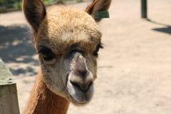 Närbild av laman på en lantgård Royaltyfri Bild