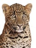 Närbild av leoparden, Pantherapardus, 6 månader Arkivbilder