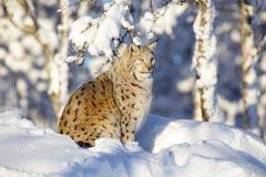 Närbild av lodjurkatten som vilar i vintersolen Arkivbild