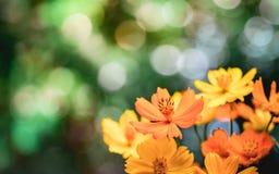 Närbild av många guling-apelsin svavelkosmos eller mexicanska asterblommor royaltyfri bild