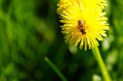 Närbild av maskrosor som blommar i fält med ett bi på det Arkivfoto
