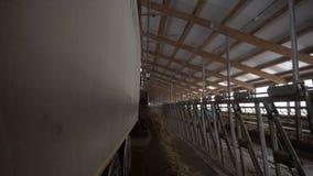 Närbild av matningsmaskinen på lantgård footage Matningslastbilen lastar av ladugården för boskapmatning in Lantbruk- och boskapo arkivfoto