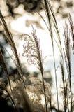 Närbild av Miscanthus mot solen Fotografering för Bildbyråer