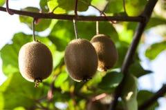 Närbild av mogen kiwi på buskarna Italien agritourism arkivbild