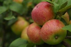 Närbild av mogna äpplen på ett träd Arkivfoton