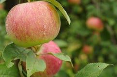 Närbild av mogna äpplen på ett träd Fotografering för Bildbyråer