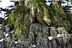 Närbild av mossa på träd Arkivbilder