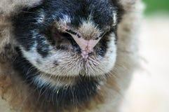 Närbild av näsan för får` s, medan beta på beta arkivfoton