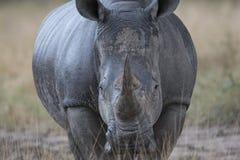 Närbild av noshörningen i Afrika fotografering för bildbyråer