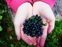 Närbild av nya blåbär för handfull i de nedsmutsade händerna av en tonårs- flicka royaltyfri foto