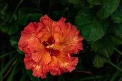 Närbild av oavkortad blom för beautifulorange och för gul hibiskusblommablomning i det Hawaii paradiset, blom- trädgårdbakgrund,  fotografering för bildbyråer