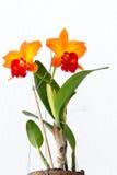 Närbild av orange orkidér Arkivfoto