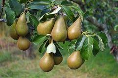 Närbild av päron omkring som ska kantjusteras Arkivbilder