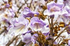 Närbild av Paulowniaträdet som blommar blommor arkivbilder