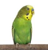 Närbild av Perched Budgie med näbb som är öppen på vit bakgrund royaltyfri fotografi
