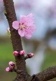 Närbild av persikablomman Royaltyfria Foton