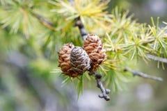 Närbild av pinecones på slingan till Croda da Lago i Cortina D Royaltyfria Foton