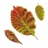 Närbild av plommonbladet Rött blad av det isolerade plommonträdet royaltyfri foto