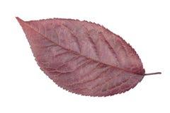 Närbild av plommonbladet som isoleras på en vit bakgrund Bourgogneplommonblad Rött blad av plommonträdet Höst- eller sommarsidor fotografering för bildbyråer