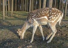 Närbild av prickiga hjortar Royaltyfri Foto