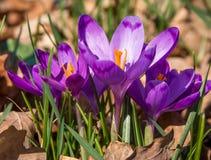 Närbild av purpurfärgade krokusblommor Royaltyfri Foto