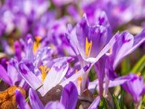 Närbild av purpurfärgade krokusblommor Arkivfoto