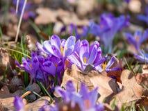 Närbild av purpurfärgade krokusblommor Royaltyfria Foton