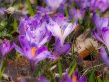 Närbild av purpurfärgade krokusblommor Royaltyfria Bilder