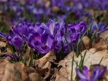 Närbild av purpurfärgade krokusblommor Royaltyfri Bild