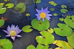 Närbild av purpurfärgade och gula näckrors royaltyfri fotografi