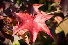Närbild av röda Autumn Leaf fotografering för bildbyråer