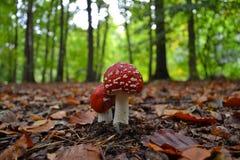 Närbild av röda och vita flugsvampchampinjoner Arkivfoto