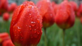 Närbild av röda tulpan i morgondagg Arkivfoton