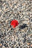 Närbild av rött växa för blomma upp från gruset Begreppet av liv och motivationen royaltyfri foto