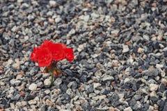 Närbild av rött växa för blomma upp från gruset Begreppet av liv och motivationen fotografering för bildbyråer