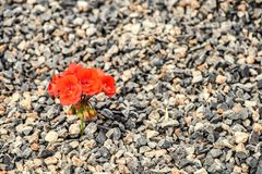Närbild av rött växa för blomma upp från gruset Begreppet av liv och motivationen Ansträngning för liv Royaltyfri Fotografi