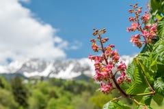 Närbild av rosa blommor av ett kastanjebrunt träd Royaltyfria Foton