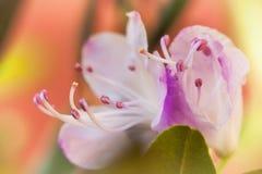 Närbild av rosa färgblomman, selektiv fokus Vällustig uppenbarelse Romantiska buketter med förälskelse Mjuk färg- och suddighetss Royaltyfri Fotografi