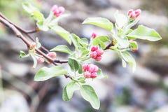 Närbild av rosa knoppar för körsbärsröd blomning. Arkivfoton