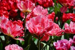 Närbild av rosa tulpan i ett fält av rosa tulpan Royaltyfri Bild