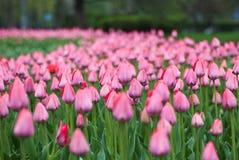 Närbild av rosa tulpan i ett fält av rosa tulpan Royaltyfria Bilder