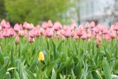 Närbild av rosa tulpan i ett fält av rosa tulpan Royaltyfri Fotografi