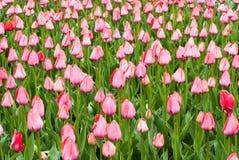 Närbild av rosa tulpan i ett fält av rosa tulpan Arkivbild