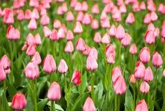 Närbild av rosa tulpan i ett fält av rosa tulpan Arkivbilder