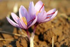 Närbild av saffranblommor, krokus arkivfoto
