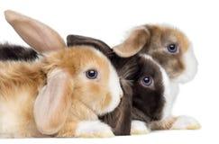 Närbild av satängMini Lop rabbitss profil som isoleras arkivfoton