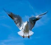 Närbild av seagullen Arkivfoton