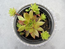 Närbild av sempervivumväxten i en kruka Royaltyfri Fotografi
