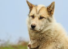 Närbild av slädehunden Arkivbild