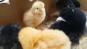 Närbild av små fågelungar av olika färger, gult och svart lager videofilmer